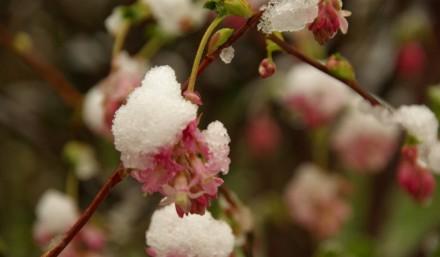 2 Neige fleur