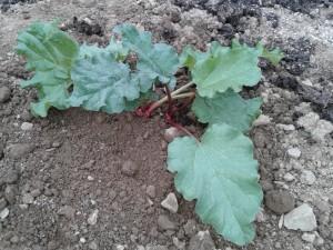 06 rhubarbe