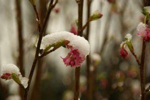 Fleur neige 1